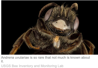 image of a rare bee found in Indiana